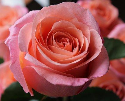 Pink Rose, Rose, Background, Flower, Pink, Bloom