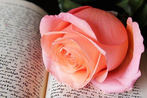 Pink Rose, Book, Background, Flower, Rose, Pink, Bloom