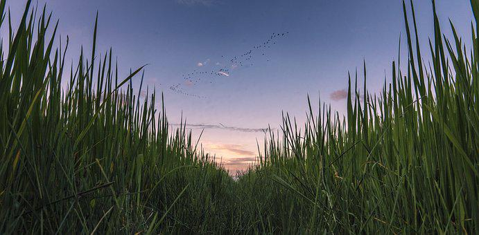 Field, Rice, Paddy, Sky, Flock, Birds, Dusk, Nature