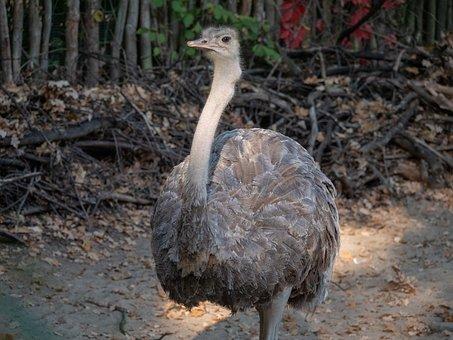 Strauss, South Africa, Zoo, Bird, Animal, Feather