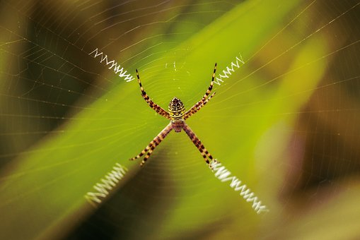 Spider, Wild Life, Web, Green, Wallpaper, Zigzag, Breed