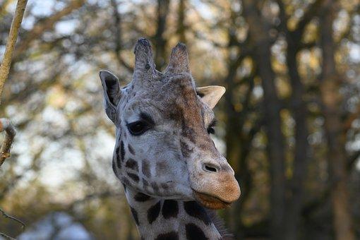 Zoo, Giraffe, Stains, Ouwehands Dierenpark