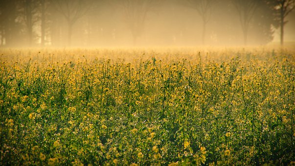 Autumn, Sunrise, Fog, Field Of Rapeseeds, Oilseed Rape