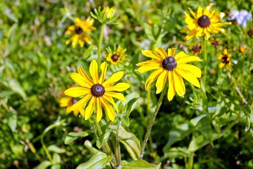Black-eyed Susan In Idaho, Black-eyed, Susan