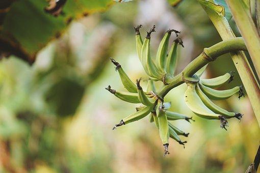 Banana Tree, Leaf, Plantation, Plantain, Tree, Yellow