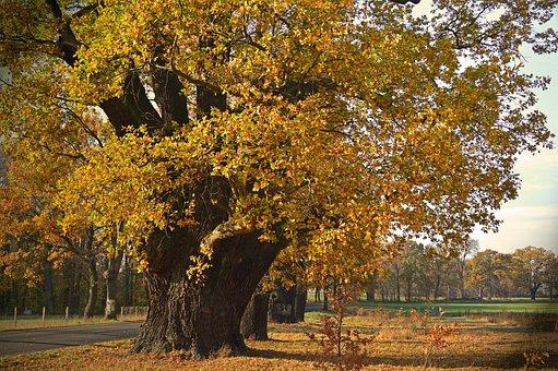 Oak, Old, Trees, Deciduous Trees, Old Oaks, Centuries