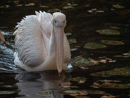 Pelikan, Africa, Zoo, Bird, Water, Water Bird, Plumage
