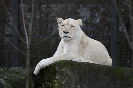 Lioness, White Lioness, Zoo, Carnivore, Predator