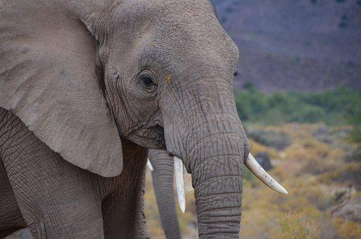 African Elephant, South Africa, Elephant