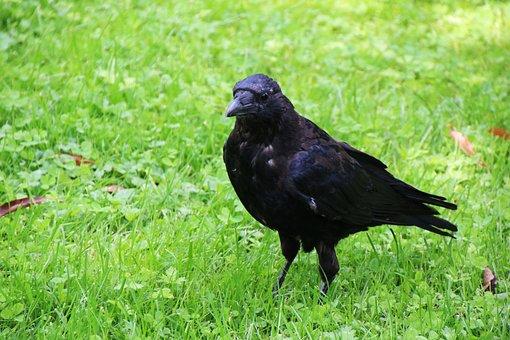 Bird, Raven, Crow, Black, Animal, Animal World