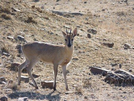 Grey Duiker, Antelope, Africa, Nature, Duiker, Animal