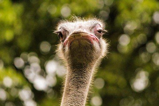 Ostrich, Bird, Beak, Head, Animal, Eyes, Face