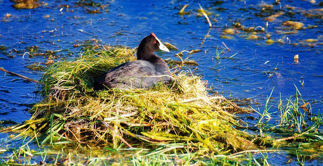 Red Knobbed Coot, Water, Nest, Nature, Bird, Lake