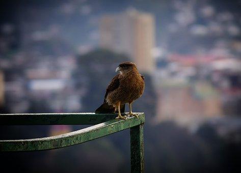 Birds Chilean, Puerto Montt, Prey, Tiuque, Feathers