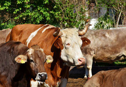 Bull, Ox, Cow, Cattle, Horns, Agriculture, Farm