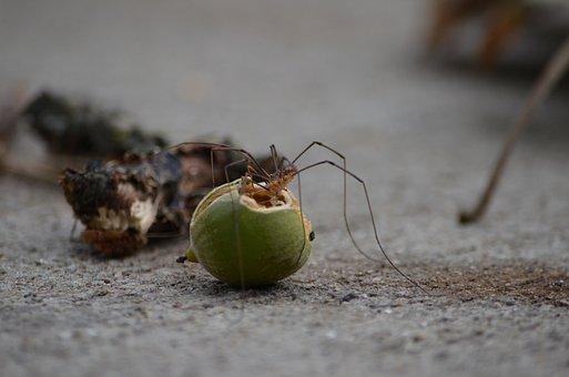 Spider, Long, Leg, Eating, Fall, Nut, Bite, Fang