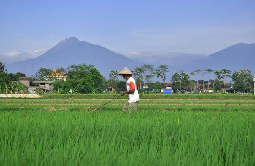 Farmer, Rice Field, Countryside, Agriculture, Asia