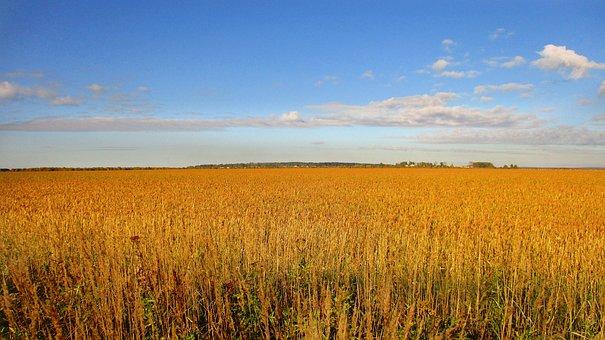 Rye, Wheat, Kolos, Spikes, Sky, Field, Arable Land