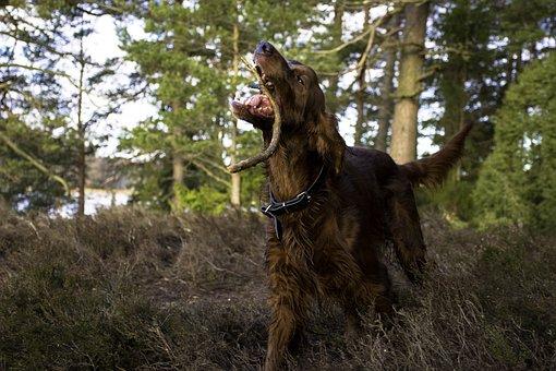 Irish Setter, Dog, Animals, Fur, Red, Green, Forest