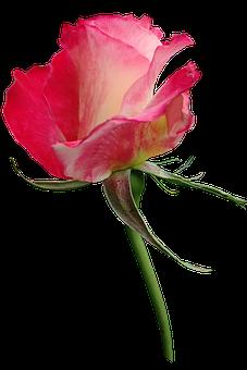 Rose, Bud, Flower, Perfume, Garden, Nature