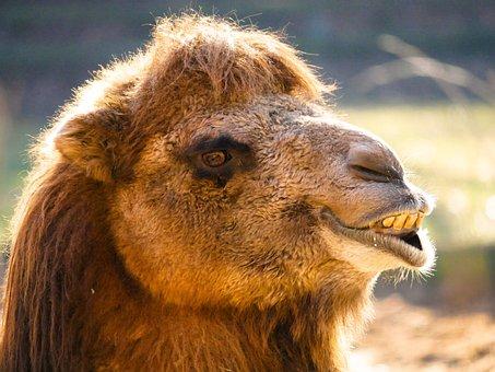 Animals, Camel, Portrait, Head, Animal Portrait, Tooth