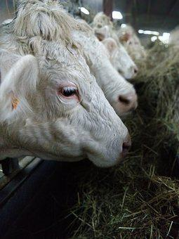 Cows, Straw, Meals, Farm, Line