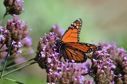 Butterfly, Monarch, Insect, Nature, Butterflies