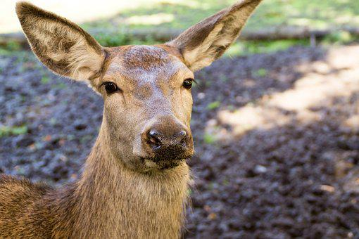 Roe Deer, Close Up, Animal, Nature