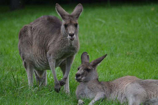 Kangaroo, Care, Cleaning, Ear, Parent, Mother, Baby