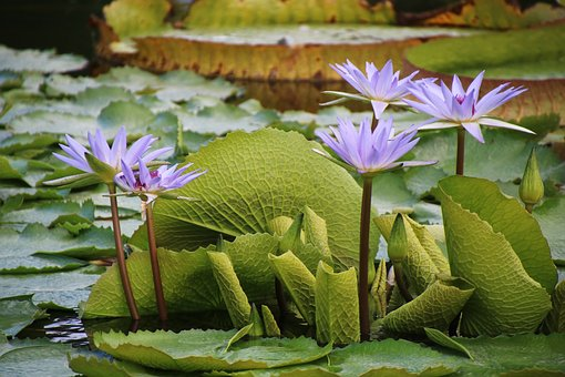 Water Lily, Purple, Flower, Pond, Blossom, Bloom, Water