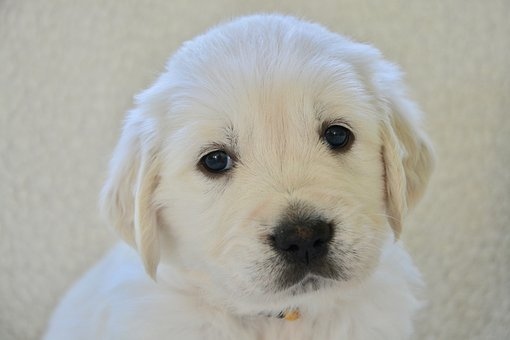Dog, Golden Retriever Puppy, Pup, Golden Retriever