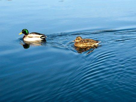 Duck, Water, Ripple, Blue, Nature, Waterfowl