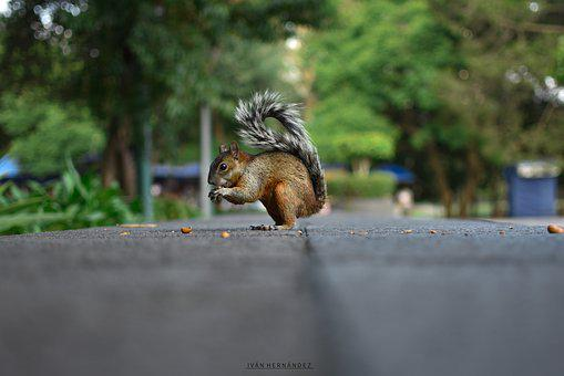Squirrel, Animal, Rodent, Animals, Nature, Wild