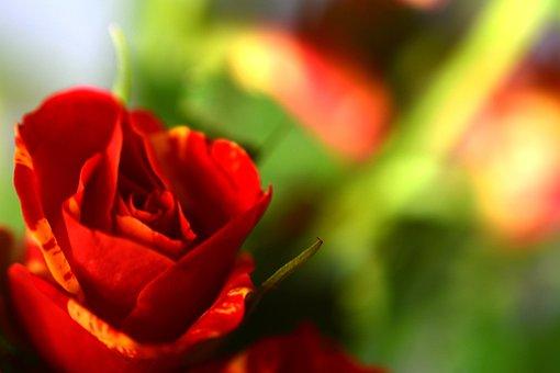 Ros, Love, Background, Flower, Romantic, Short, Roses