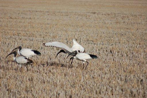 Ibis, Ibi, Sacred Ibis, Birds, Beak, Wild, Bird