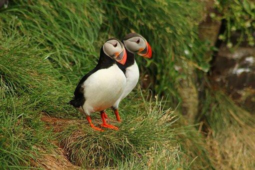 Puffin, Bird, Cliff, Coast, Sea Birds, Iceland, Birds