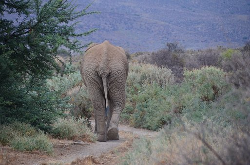 Elephant, African, South African, Tail, South Africa