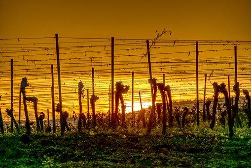Vineyards, Sun, Sunset, Silhouette, Landscape, Nature