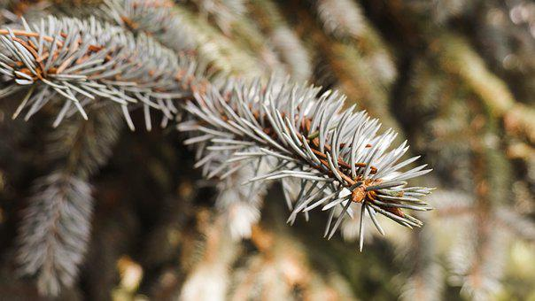 Christmas, Tree, Nature, Fir Tree