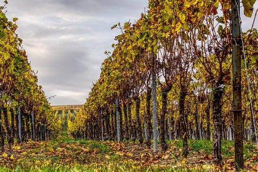 Vineyards, Vines, Wine, Winegrowing, Nature, Vine