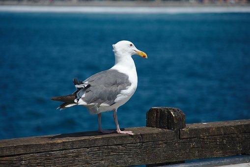 Western Gull, Bird, Bird On The Pier, Ocean