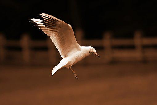Seagull, Bird, Animal, Flight, Flying, Wings, Feather
