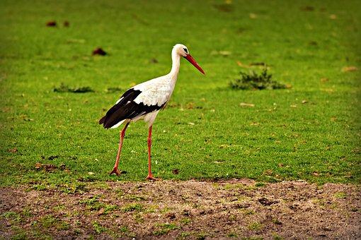 Stork, Bird, Animal, Predator, Bird Of Prey, Walking