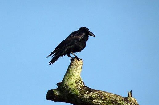 Bird, Crow, Indian Jungle Crow, Corvus Macrorhynchos