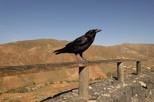 Crow, Rook, Raven, Bird, Black, Crows, Jackdaw, Nature