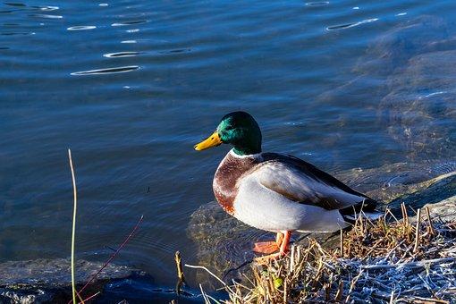 Duck, Lake, Water, Bird, Nature, Animal, Water Bird
