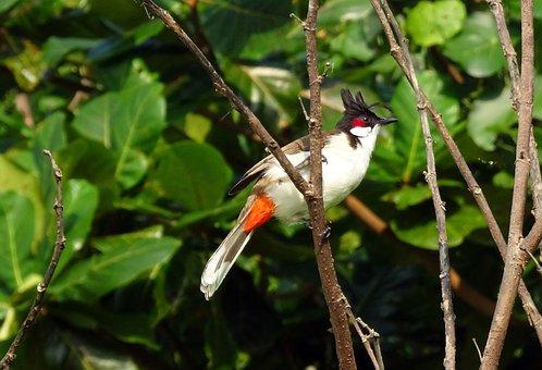 Bird, Red-whiskered Bulbul, Pycnonotus Jocosus, Bulbul