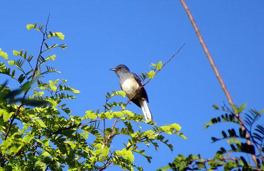 Bird, Magpie, Robin, Copsychus Saularis, Singing Bird