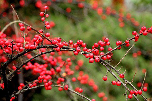 Cotoneaster, Bush, Winter, Red Balls, Small-leaved, Red