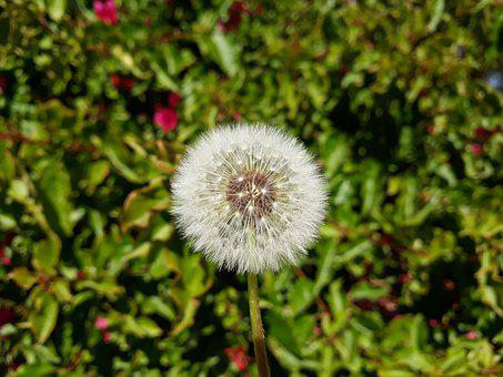 Dandelion, Nature, Summer, Plant, Seeds, Spring
